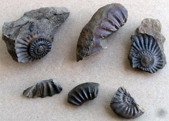 Ammonite fossil fragments in the Tyaughton Creek - Paradise Creek divide area