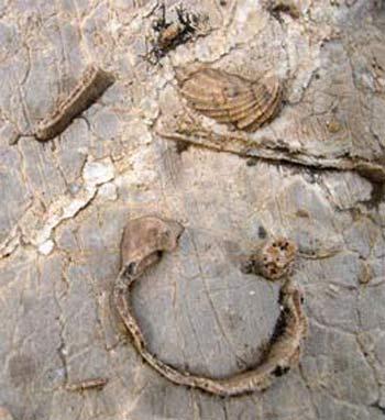 Bivalve (Cassianella?) fossil fragments in limestone in upper Paradise basin