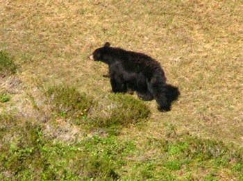 Black bear in meadows below Mt. Laughington Trail