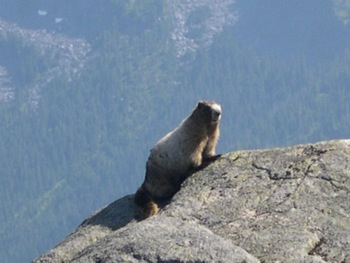 Marmot at end of the Williams Peak Trail