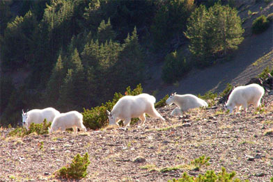 A herd of Mountain Goats foraging along the Eldorado-Gun divide