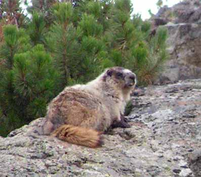 Hoary Marmot in upper Taylor basin
