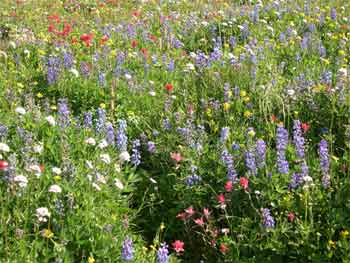 Arctic lupine, Yarrow and Alpine paintbrush in alpine meadow
