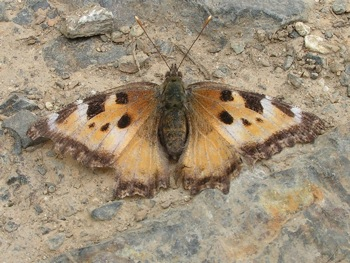 Butterflies can be commonly found along logging roads in the Chilliwack valley (Compton Tortoiseshell?)