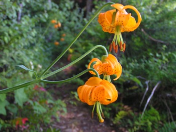 Tiger lilies along the International Ridge Trail