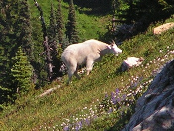 Mountain goat near summit of Mt. McGuire