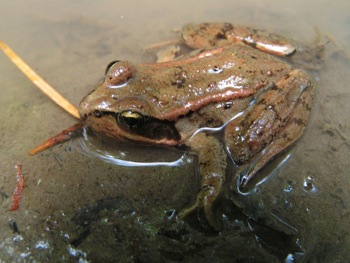 Frogs are abundant in the Chilliwack River valley