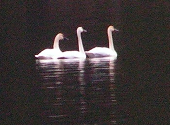 Swans in Chilliwack Lake