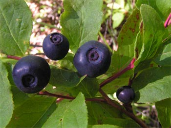 Plump and juicy blueberries along the lower sections of North Cinnabar Creek, High, Lick and B+F Trails are an important source of food for bears in July/August