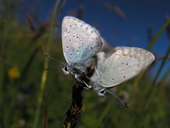 Spring Azures mating in meadows