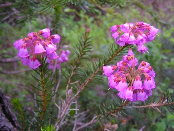 Pink heather in the Liumchen Lake meadows