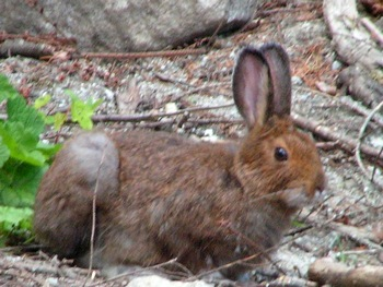 Rabbit on Depot Creek FSR