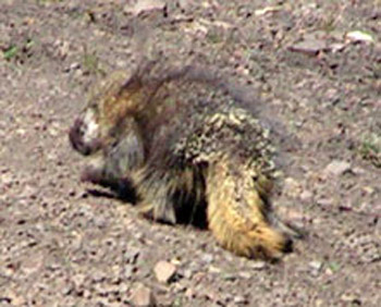 Porcupine climbing in the high alpine slopes within the Paradise Creek drainage