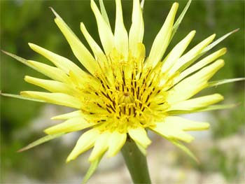 Yellow salsify along the lower Relay Creek Trail