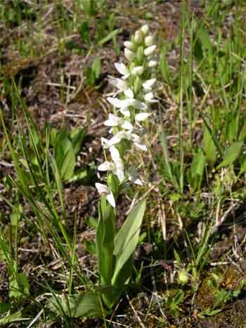 White bog-orchid