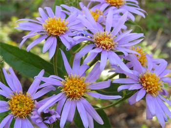 Showy aster