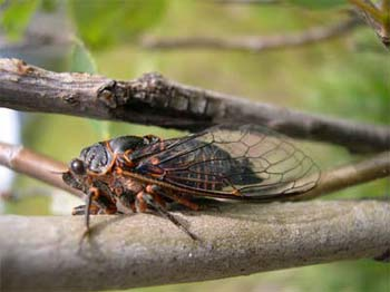 Cicada of Okanagana genus (species?) Gun Creek Trail (mid valley)
