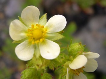 Graceful cinquefoil