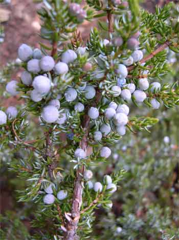 Juniper is common to lower elevations of the South Chilcotins
