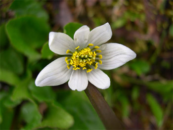 White marsh-marigold