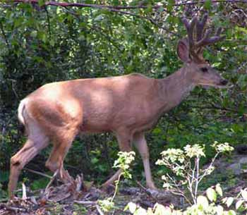 Mule Deer are common to the South Chilcotin Mountains