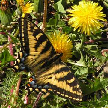 Canadian Tiger Swallowtail along Lower Tyaughton Hiker's Trail in June
