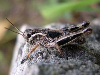 Dwarf grasshopper in Gun Creek meadows