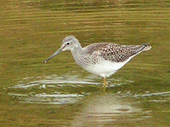 Greater Yellowlegs skimming the ponds of upper Pearson basin