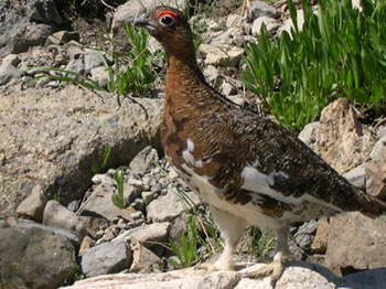 Rock Ptarmigans can be found in the high alpine areas of the South Chilcotins