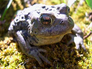 A happy looking Western Toad in the high alpine of the Tosh Creek valley