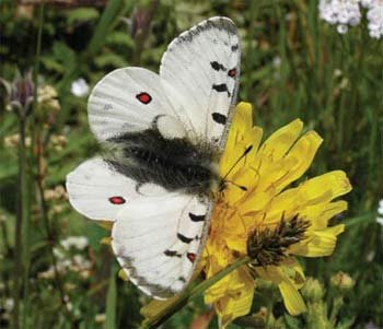 Phoebus butterfly in the high alpine meadows