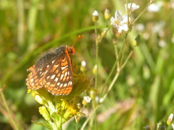 Western Checkerspot feeding on Western Groundsel