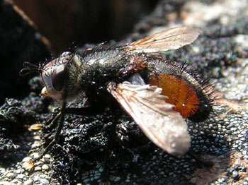 Tachinid fly (species?) at 2500m elevation