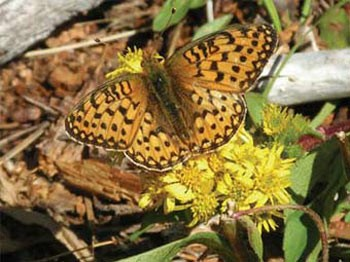 Fritillary butterfly (species?) in Lone Valley meadows
