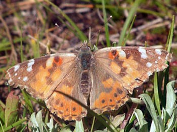 Painted Lady butterflies do not migrate S in the fall and usually die by winter